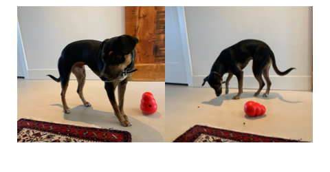 Broad World's dog Ralfie plays with a red Wobble Kong filled with treats.