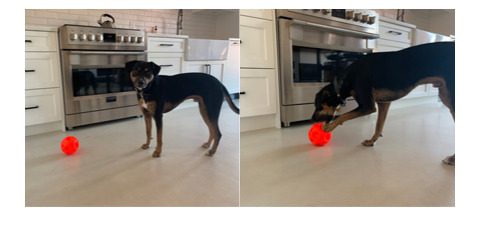 Broad World's pup Ralf plays with a red treat ball from Amazon.